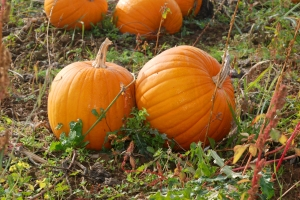 pumpkin-patch-1-1318126-1599x1070